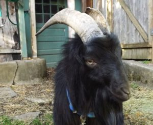 Alley Goat wealk goatwalk_sonny2